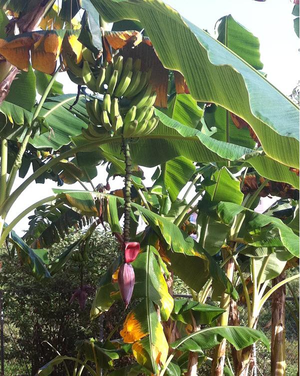 фото бананового дерева