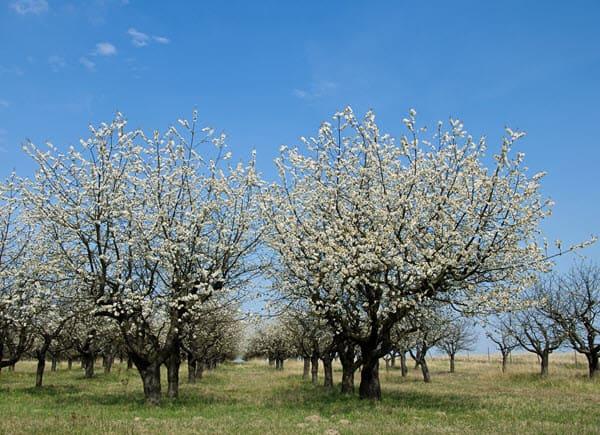 фото цветущей вишни