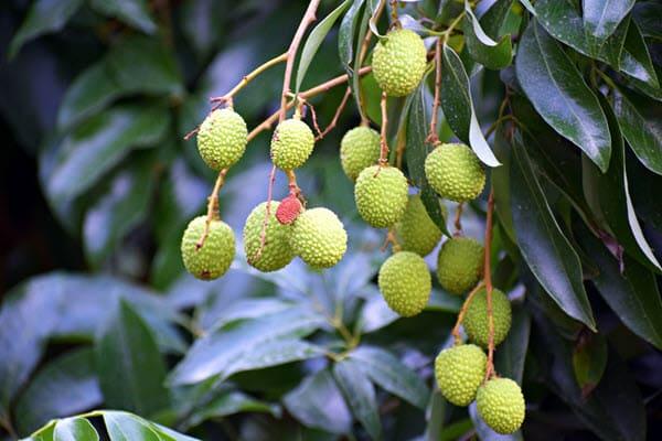 фото зеленых плодов на дереве