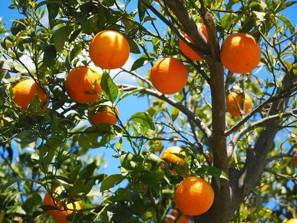 фото апельсина на дереве