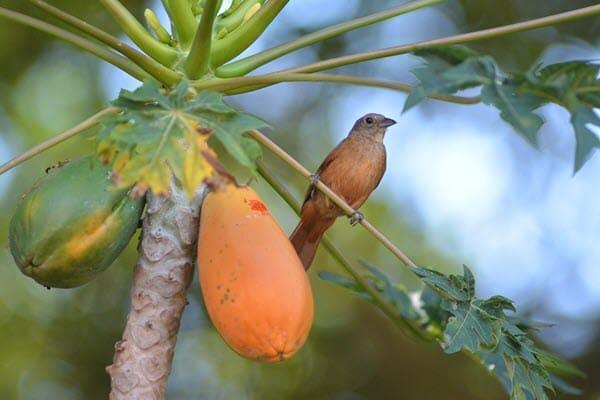 папайя на дереве с птицей