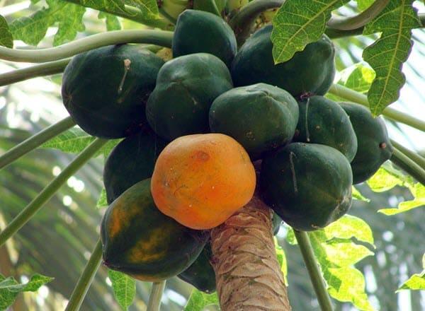фото круглой папайи на дереве