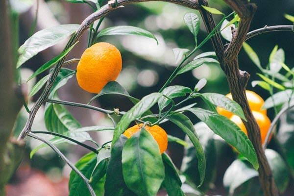 фото мандарина на дереве