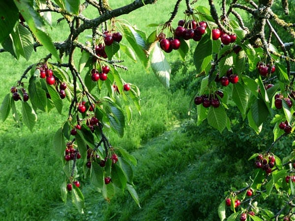черешня на дереве