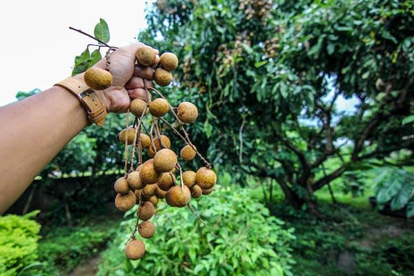 фото плодов лонгана и деревьев