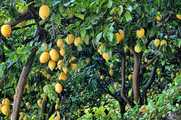 фото лимонного сада