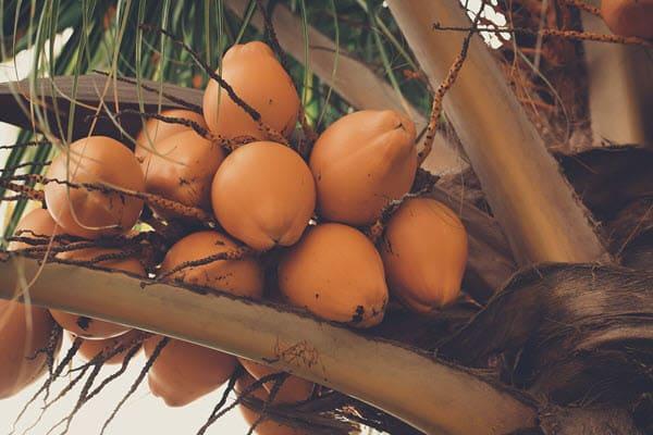 фото кокоса на дереве