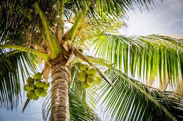 фото кокосов на пальме