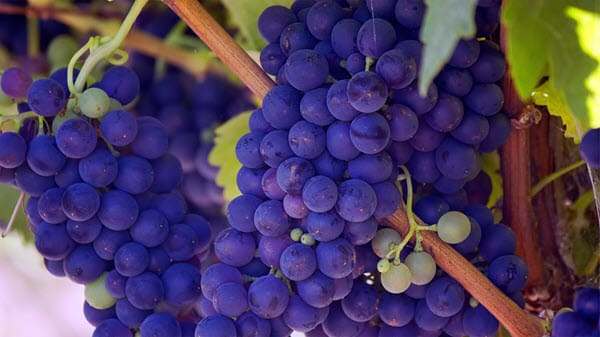 фото синего винограда