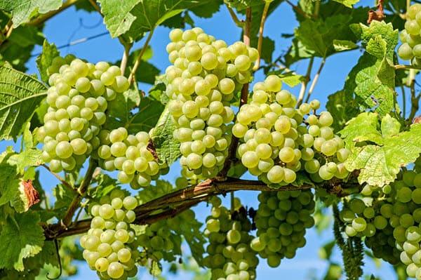 фото виноградной лозы