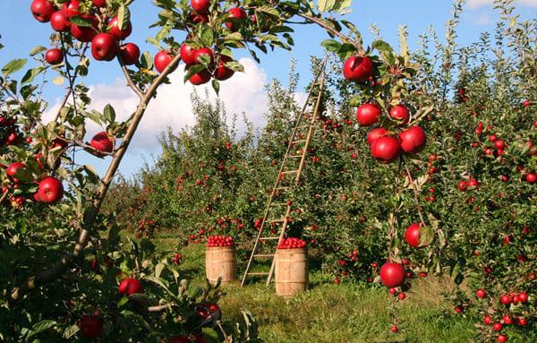 фото яблоневого сада