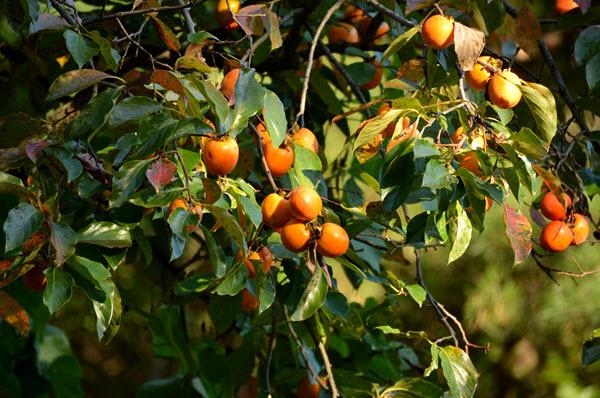 фото хурмы на дереве
