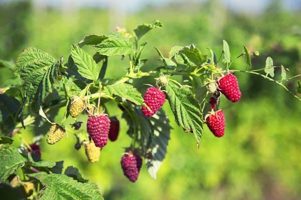 фото плодов красной малины на кусте