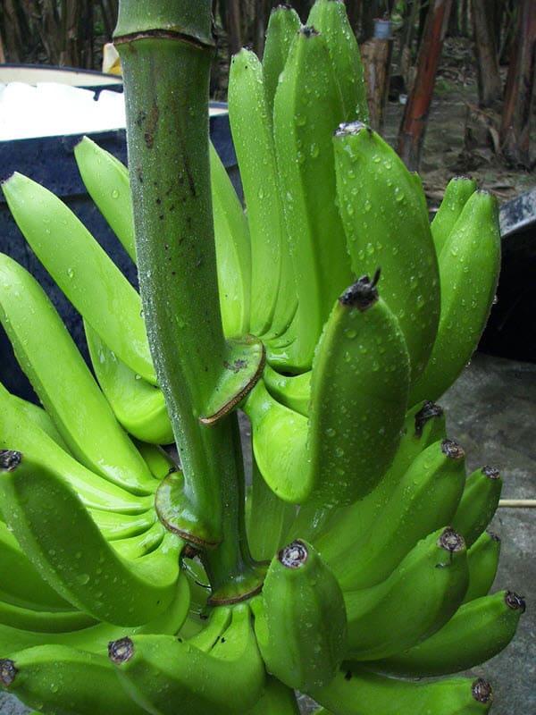 фото банана сорта кавендиш
