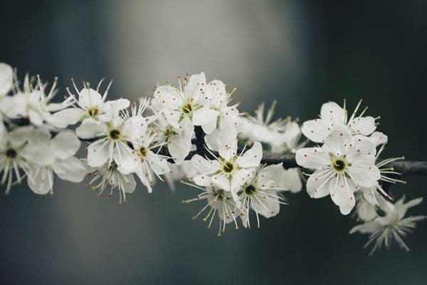 фото цветков терна