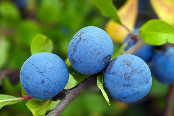 фото плодов терна