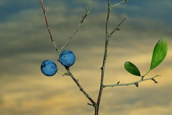 фото тернового дерева