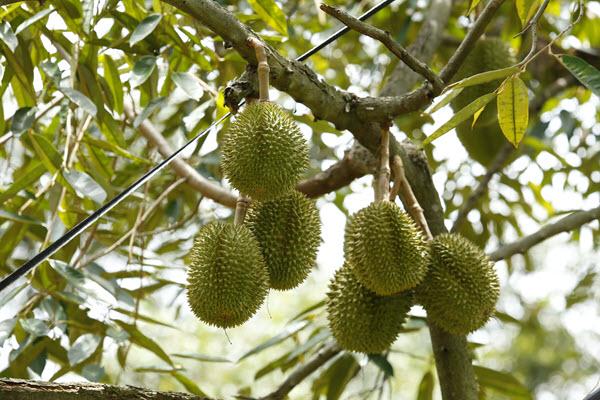 фото плодов дуриана на дереве