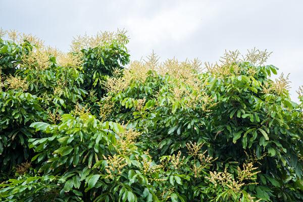 фото цветения лонгана