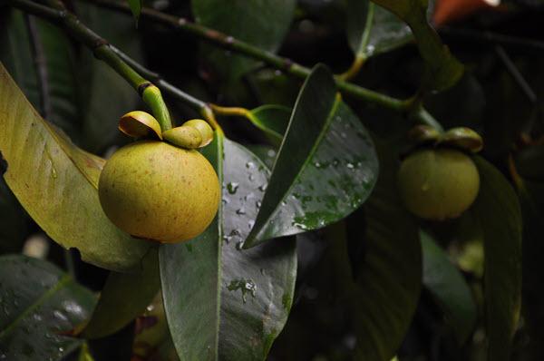 фото плода мангустина на дереве