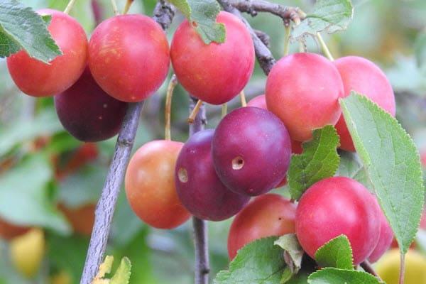 фото плодов алычи