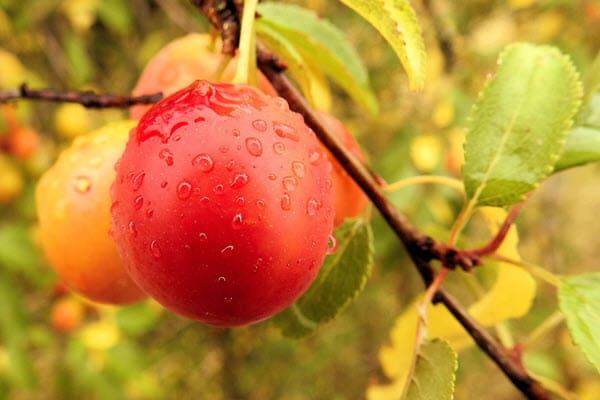 фото плода алычи