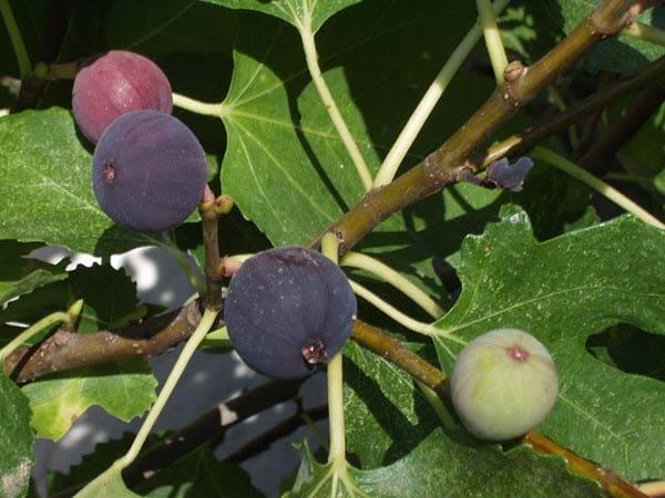фото инжира на дереве
