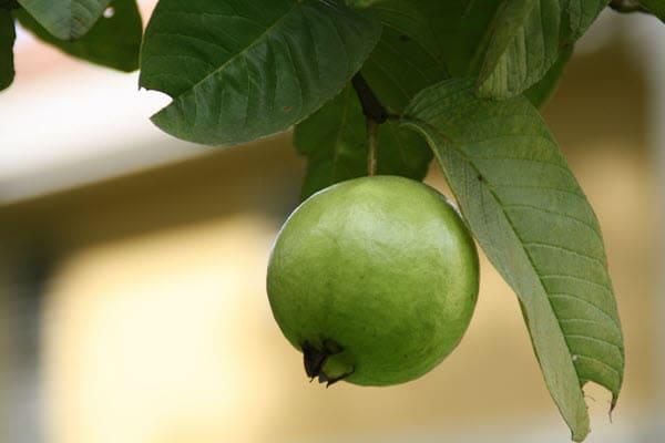 фото плода гуавы на дереве