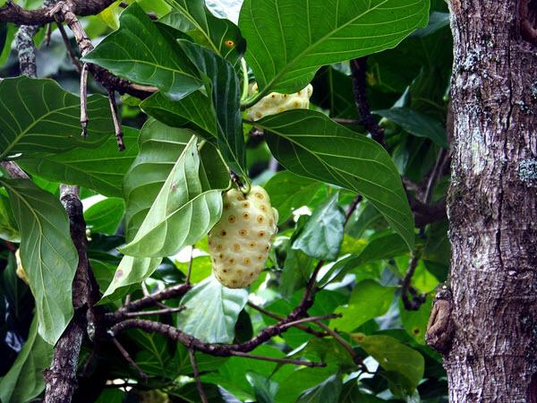 фото нони на дереве