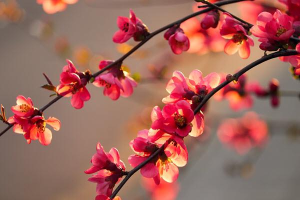 фото цветков айвы