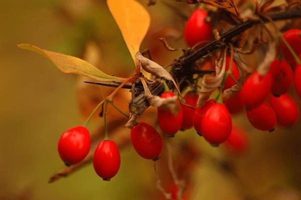 фото ягод барбариса