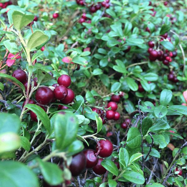 фото куста брусники с ягодами