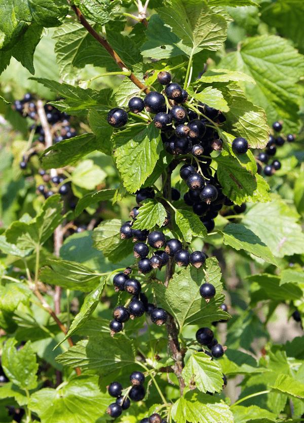 фото куста черной смородины с ягодами