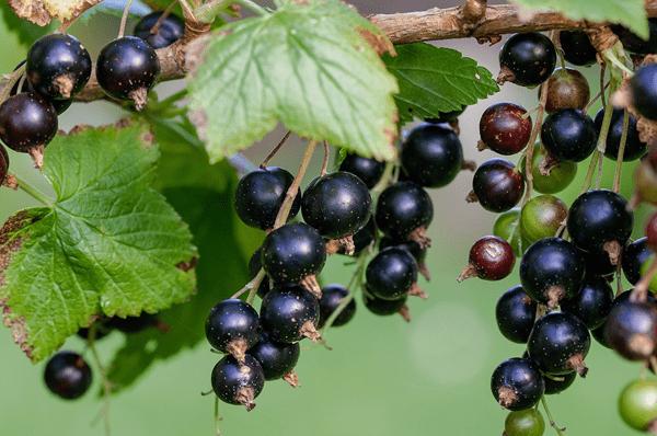 фото ягод черной смородины
