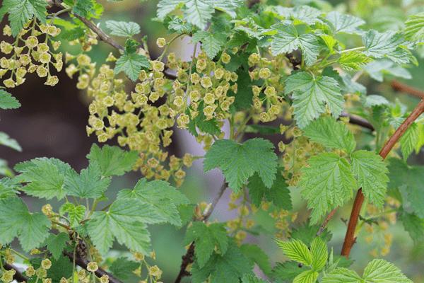 фото цветов черной смородины