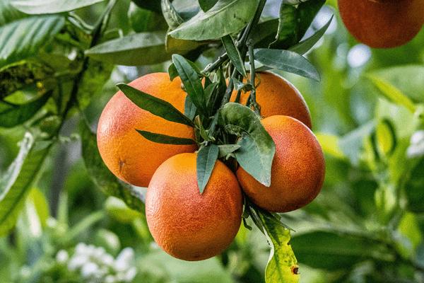 фото кровавого апельсина на дереве