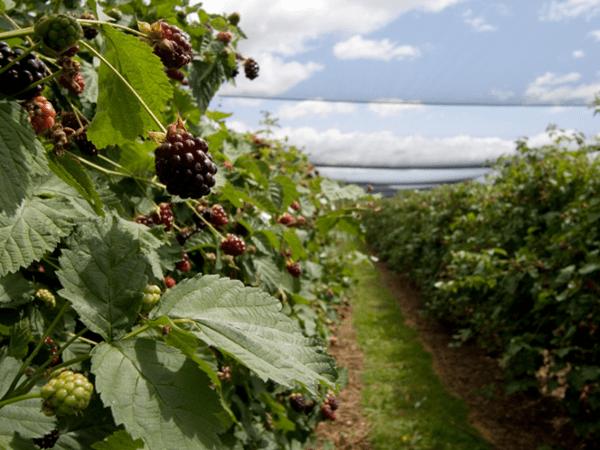 фото плантации бойзеновой ягоды