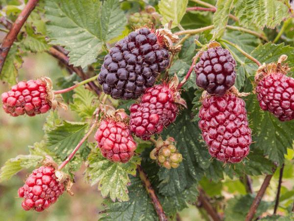 фото разноцветных бойзеновых ягод