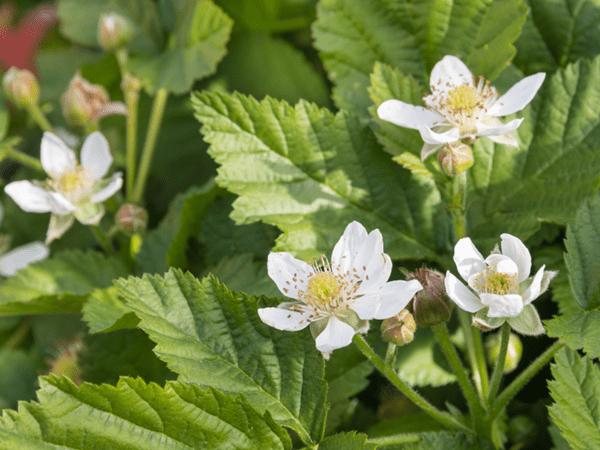 фото цветов бойзеновой ягоды