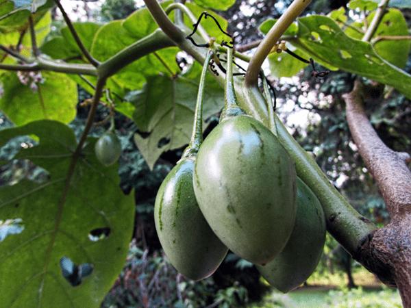 фото зеленного тамарилло