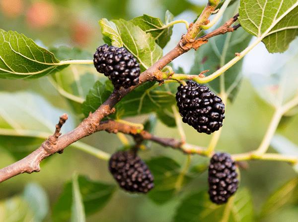 ягоды шелковицы на дереве