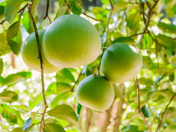 фото плодов помело на дереве