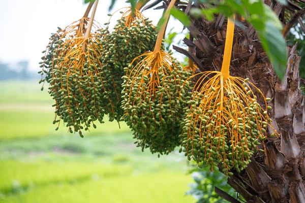 зеленые плоды фиников