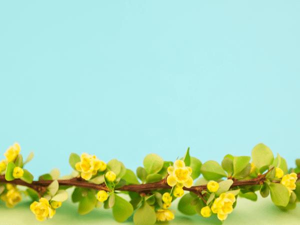 фото цветов барбариса