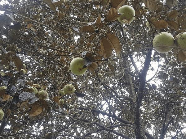 фото плодов  хризофиллума на дереве