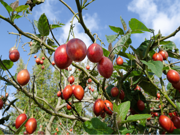 фото плодов тамарилло на дереве