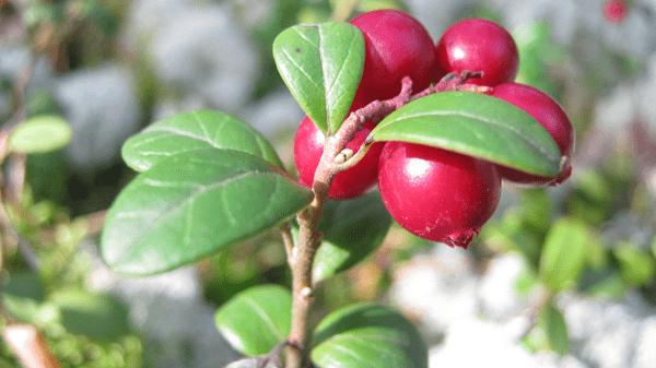 фото ягод брусники