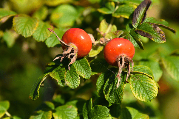 фото ягод шиповника