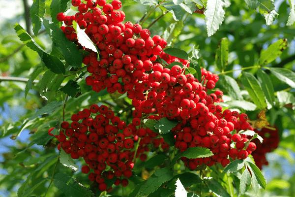 рябина красная на дереве