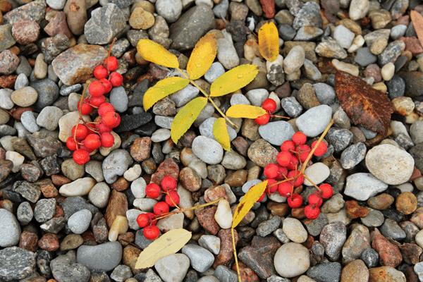 фото ягод красной рябины на гравии